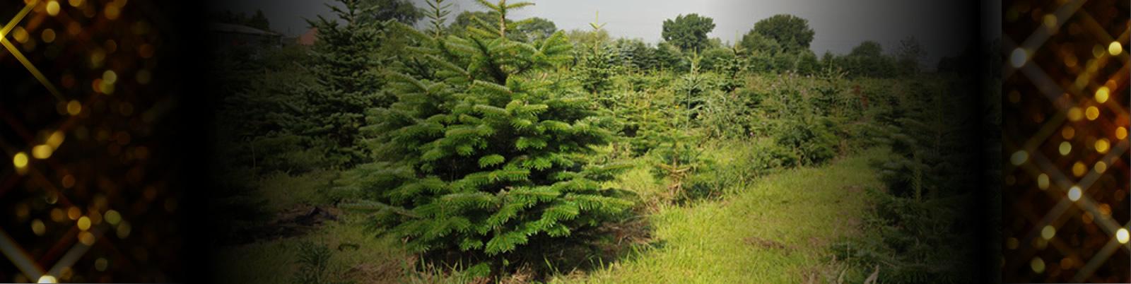 Wholesale Christmas Trees - Joseph Noblett
