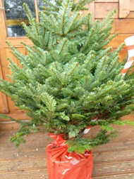 Wholesale Christmas Trees Joseph Noblett